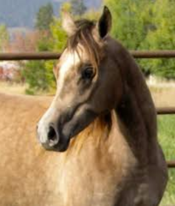 Dahabi Arabians :: Salina Brahima