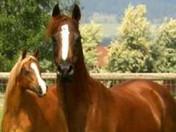 Dahabi Arabians :: El Rojo Joya