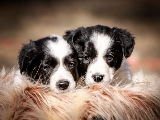 PUPPIES! Texas x Grace - Feb 2021 Litter