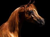 Dahabi Arabians :: Macarena Brahima