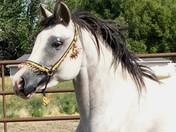Dahabi Arabians :: Raffons Noble Dancer