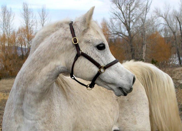 Dahabi Arabians :: PF Beauty Queen