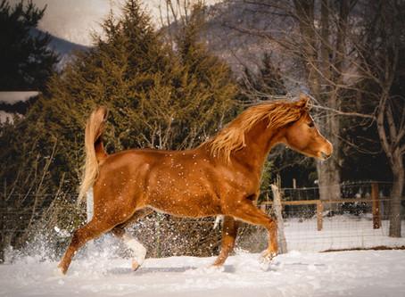 Winter Portrait Series: Horses