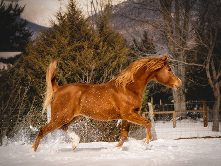 Winter Portrait Series: Horses