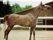 Dahabi Arabians :: Egyptian Empress