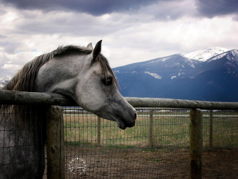 Dahabi Arabians :: Amir Shaklan