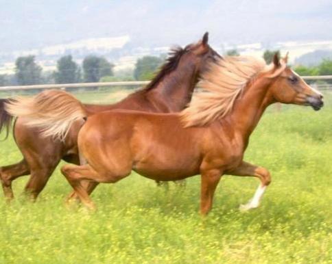 Dahabi Arabians :: Oooh La La