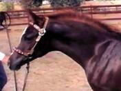 Dahabi Arabians :: Pharao