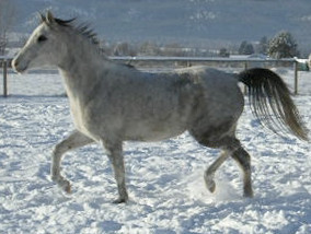 Dahabi Arabians :: Raffons Noble Dancer