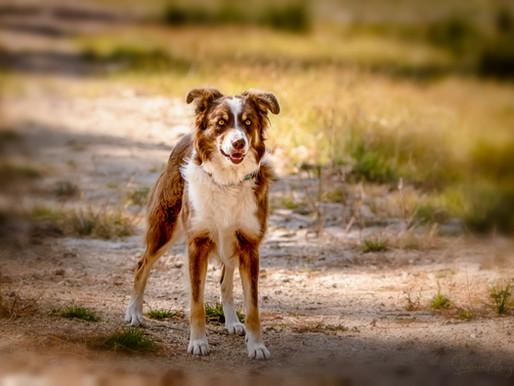 EXPECTED LITTER - Pups Due November 1