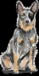 Australian Cattle Dog WEB.png