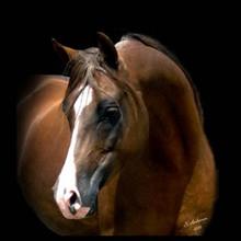 Former Stallions of Dahabi Arabians
