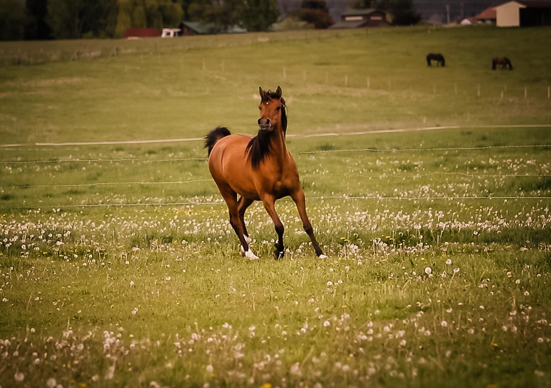 Dahabi Arabians :: Exquisite Majik