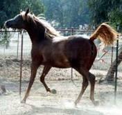 Dahabi Arabians :: The Sun Heiress