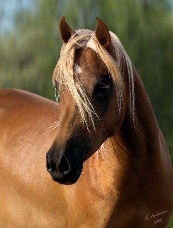 Dahabi Arabians :: Ashquar Al Jahara