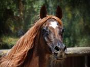 Dahabi Arabians :: Kyobi Rihma
