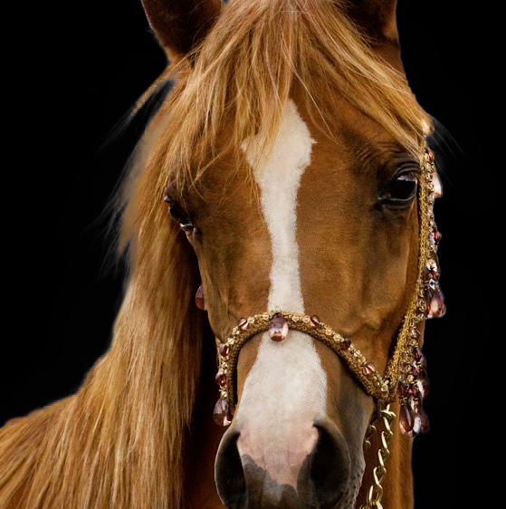 Horses Bred by Dahabi Arabians