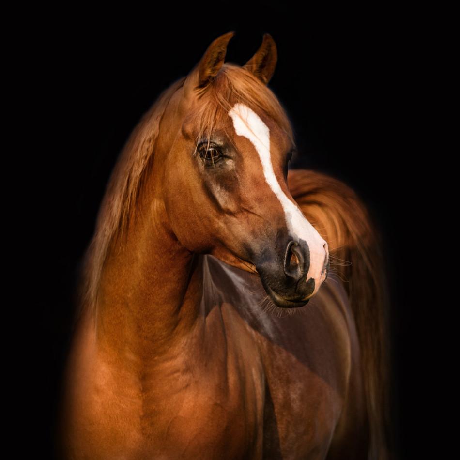 Current Horses of Dahabi Arabians