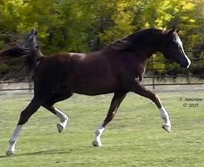 Dahabi Arabians :: Golden Ecstasy