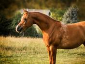 Dahabi Arabians :: Tru Donato HMF