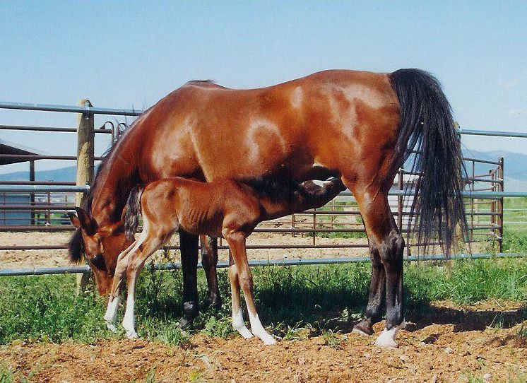 Dahabi Arabians :: Simply Elegant