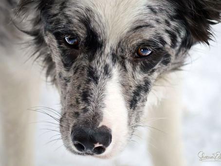Winter Portrait Series: Dogs