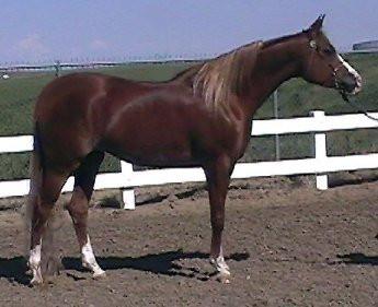 Dahabi Arabians :: Majik Tsymphony