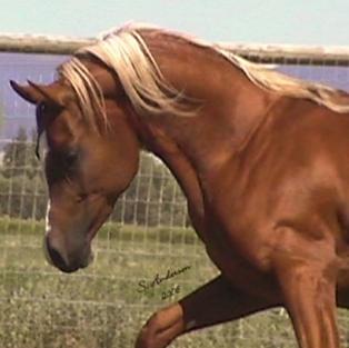 Dahabi Arabians