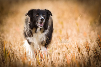Dahabi Arabians :: Border Collies
