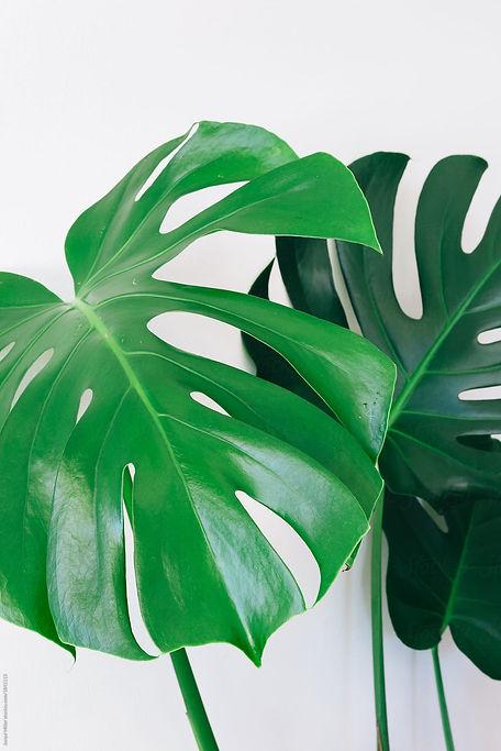 mostera plant.jpg