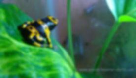 Bumblebee Froglet.jpg