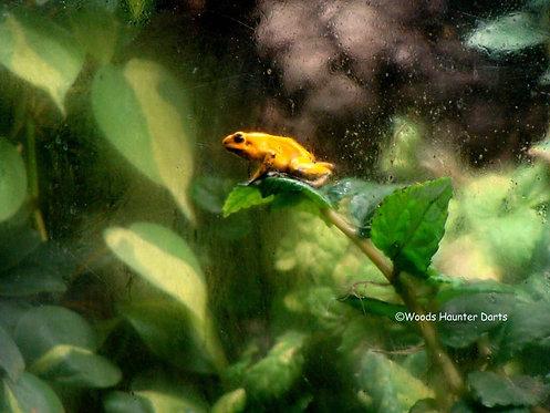 P. Terribilis 'Orange'