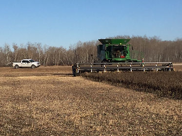 faba bean field harvest