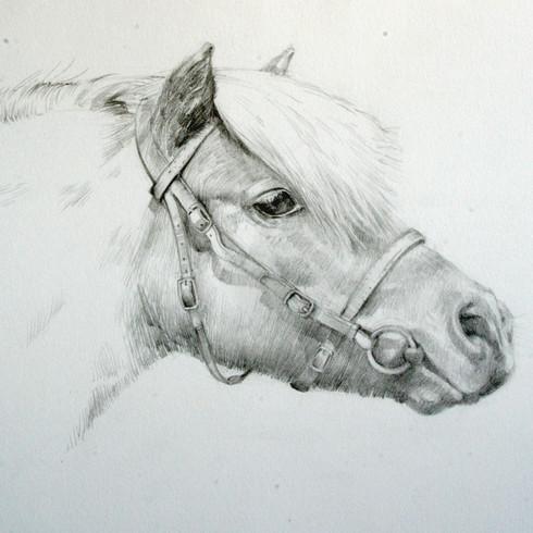 Shetland,  porrait au crayon sur papier canson blanc