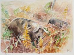 Cochons corses en castagniccia