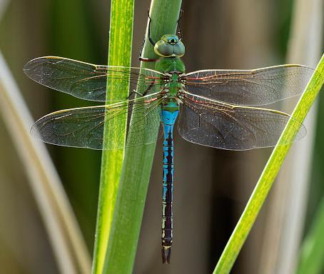 CRITTER SPOTLIGHT: Green Darner Dragonfly: Anax junius