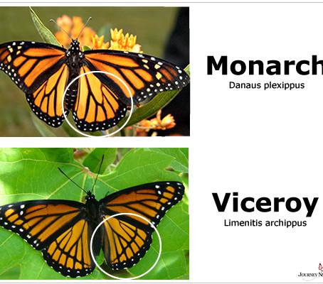 CRITTER SPOTLIGHT UPDATE: Monarch Butterfly: Danaus plexippus