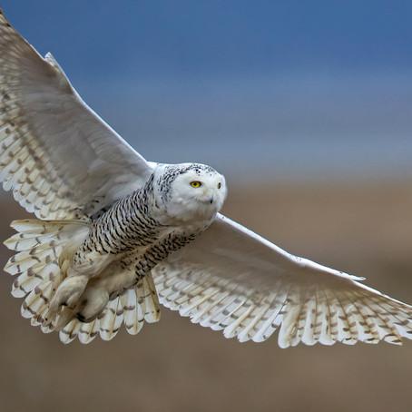 CRITTER SPOTLIGHT: Snowy owl: Bubo scandiacus