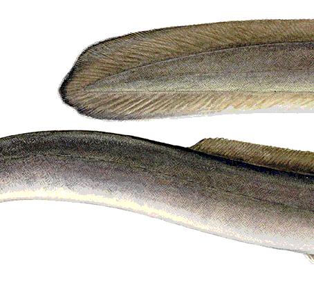 CRITTER SPOTLIGHT: Freshwater Eel: Anguilla rostrata