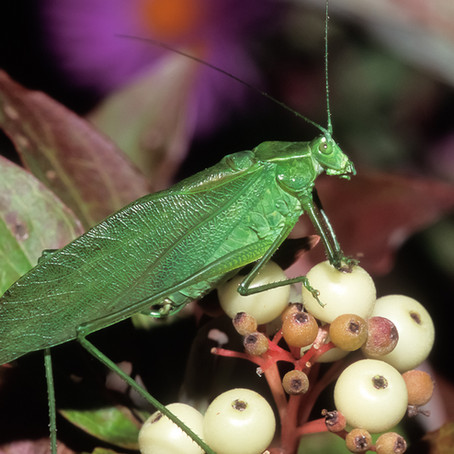 CRITTER SPOTLIGHT: Broad-Winged Katydid: Microcentrum rhombifolium