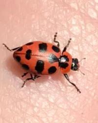 CRITTER SPOTLIGHT: Pink Ladybug: Coleomegilla maculata