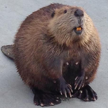 Critter Spotlight: Beaver: Castor canadensis