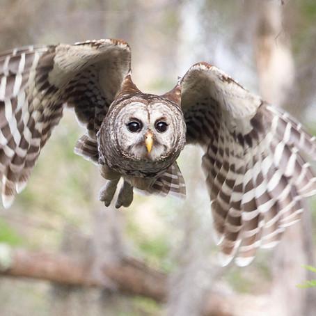CRITTER SPOTLIGHT: Barred Owl: Strix Varia