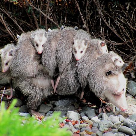 CRITTER SPOTLIGHT: North American or Virginia Opossum: Didelphis virginiana