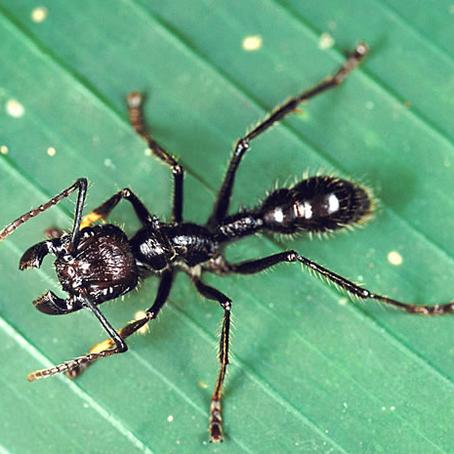 CRITTER SPOTLIGHT: Bullet Ant: Paraponera clavata