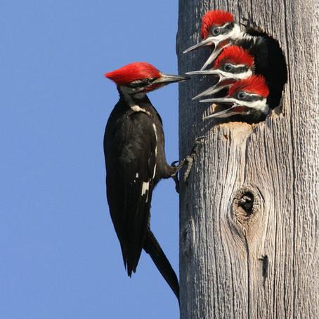 CRITTER SPOTLIGHT: Pileated Woodpecker: Dryocopus pileatus