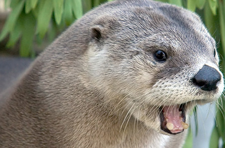 CRITTER SPOTLIGHT: North American River Otter: Lontra canadensis