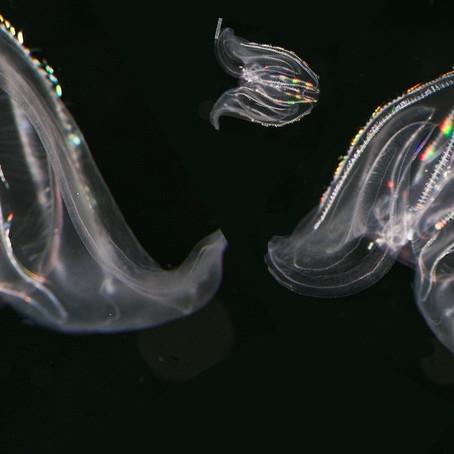 CRITTER SPOTLIGHT: Comb Jellies: Mnemiopsis leidyi