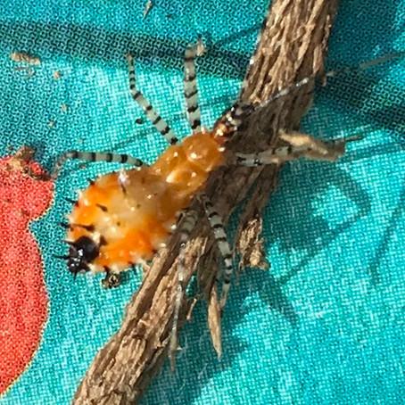 CRITTER SPOTLIGHT: Assassin bug: Pselliopus cinctus