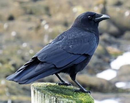 Critter Spotlight: American Crow: Corvus brachyrhynchos